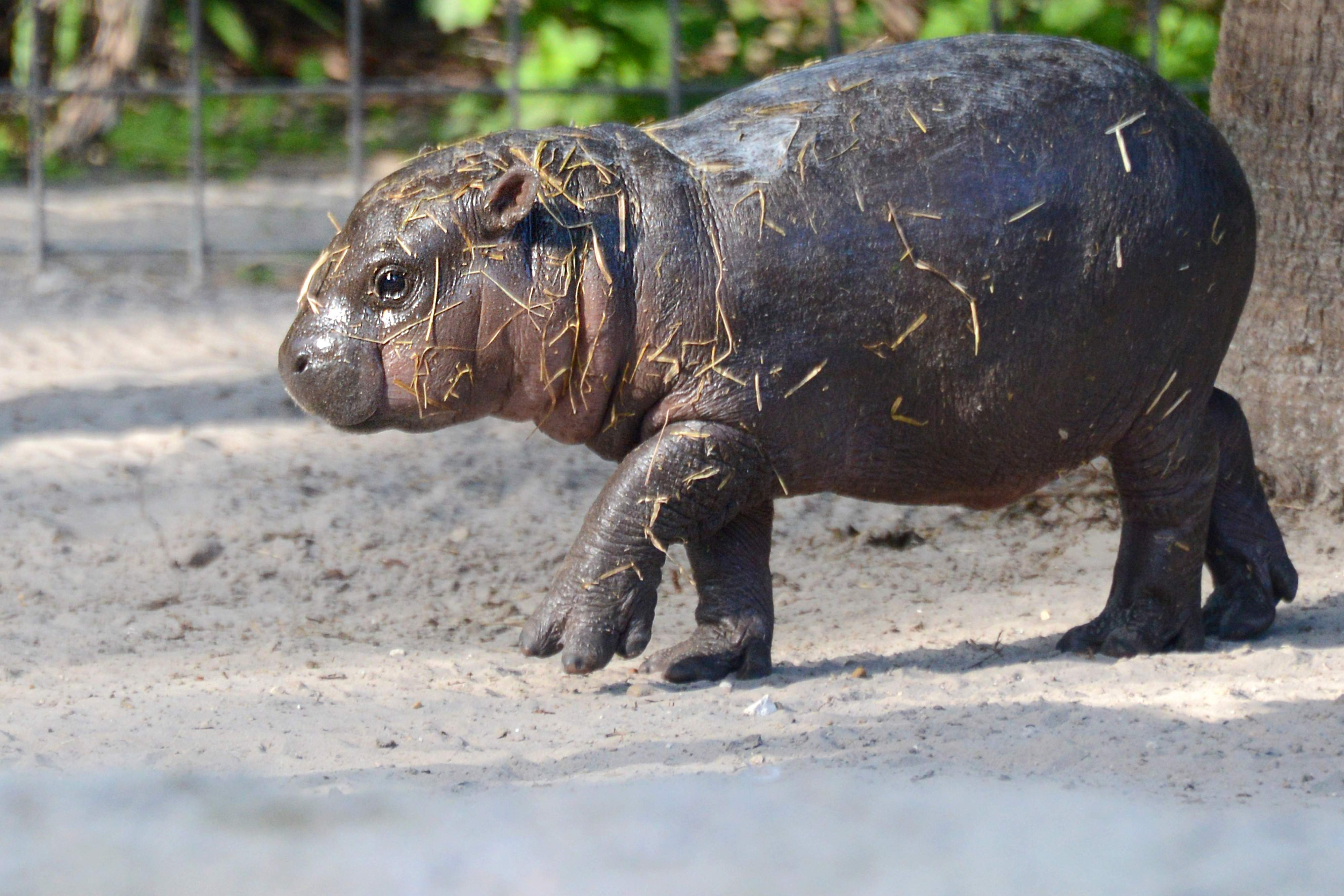 Pygmy hippopotamus Desktop wallpaper