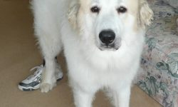 Pyrenean Mountain Dog High