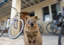 Quokka Desktop wallpaper