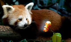 Red panda Desktop wallpaper