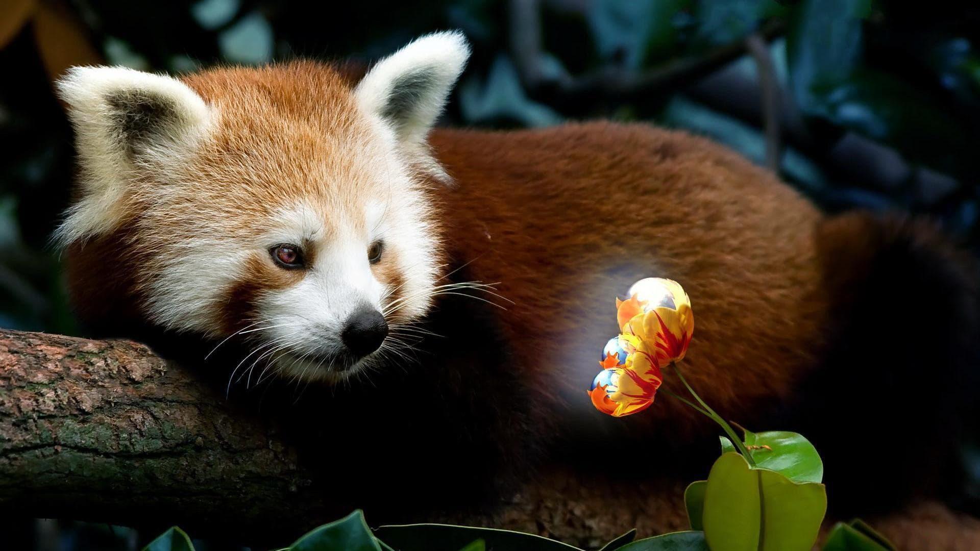 Red Panda Hd Wallpapers 7wallpapersnet