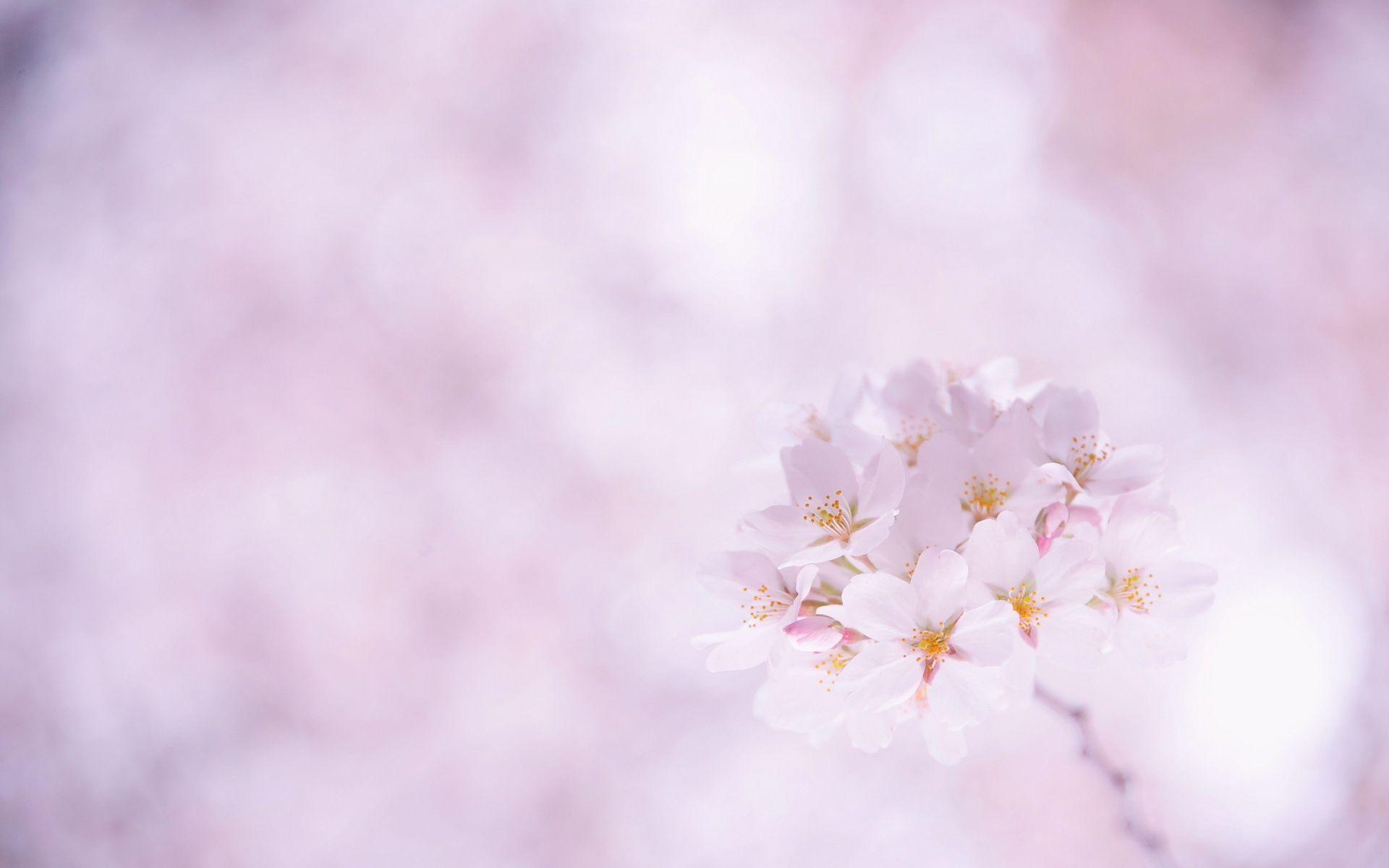Sakura flower Desktop wallpaper