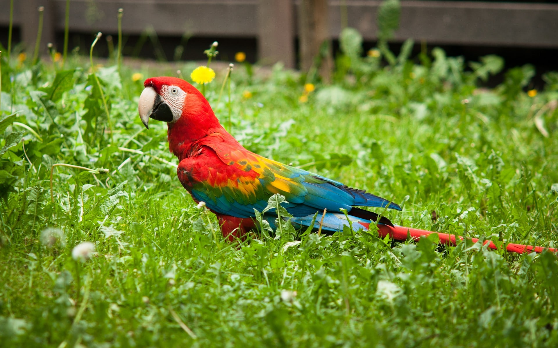 Scarlet macaw Desktop wallpaper