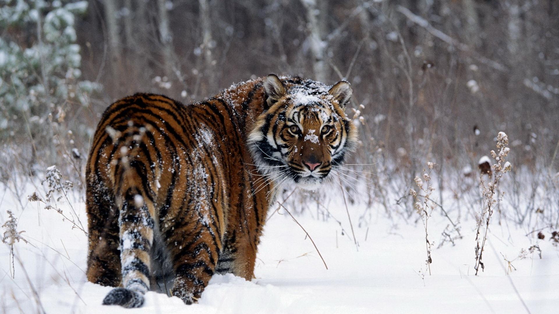 Tiger Free Desktop Wallpapers