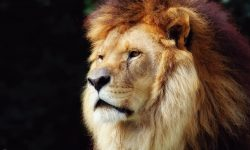 Lion widescreen wallpapers