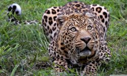 Jaguar HD pictures