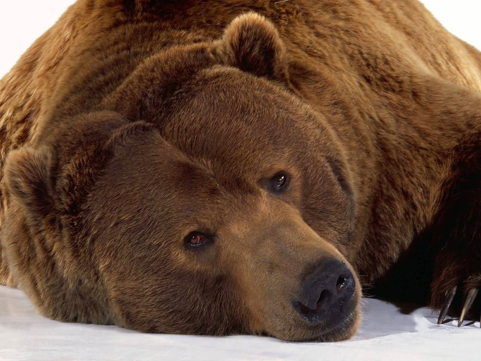 Bear widescreen for desktop