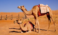 Camel HD wallpapers