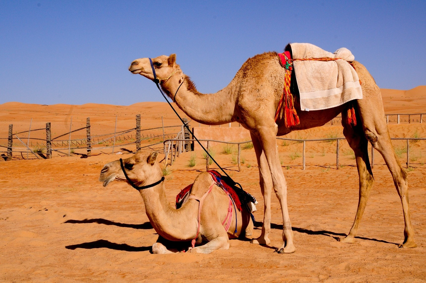 camel movs