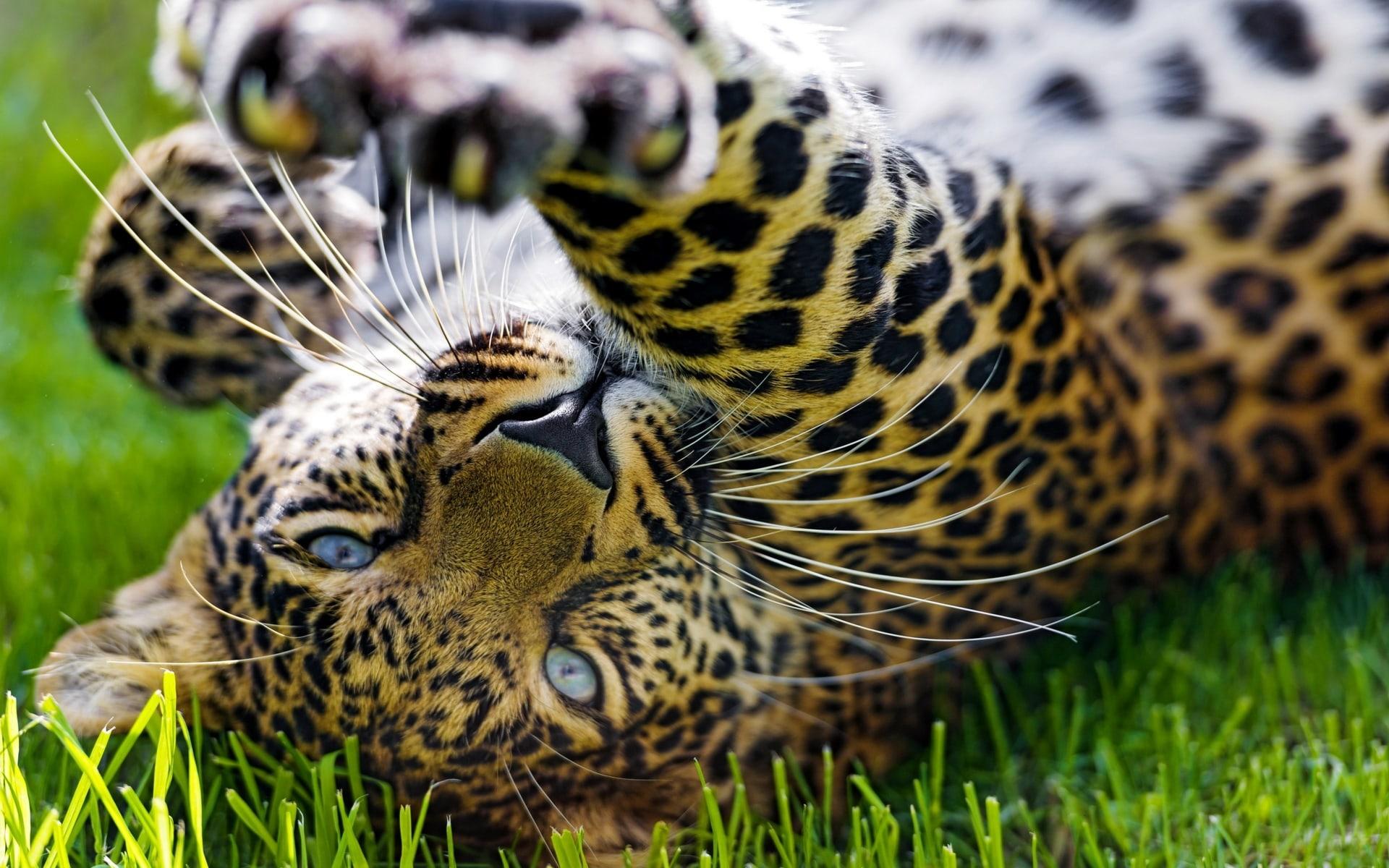 Jaguar Background