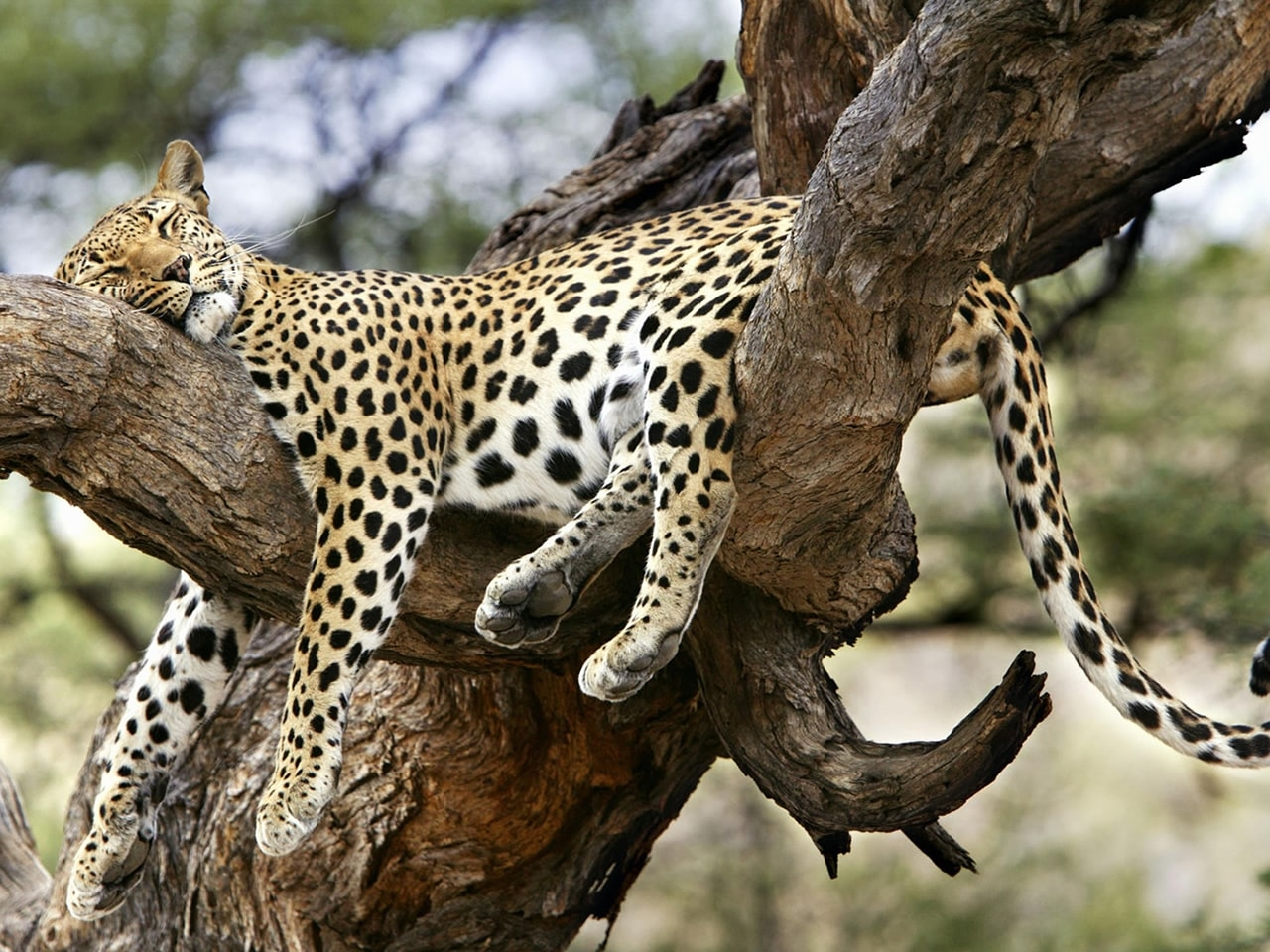 Jaguar HD pics