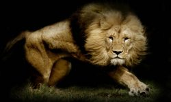 Lion HD pics