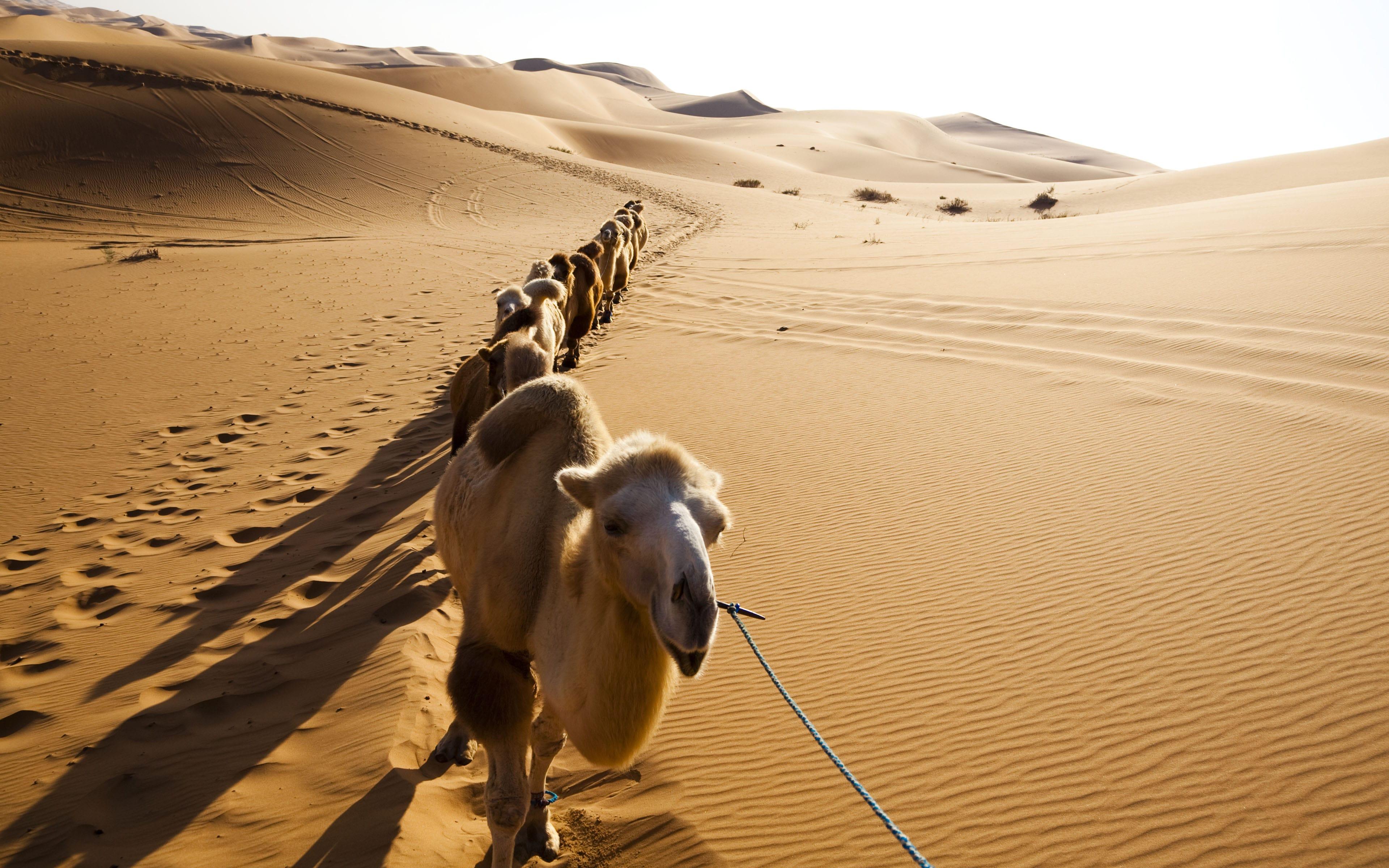 Camel High quality