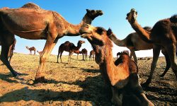 Camel Tablet PC wallpapers