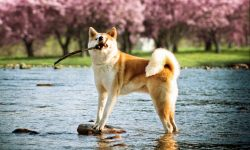 Akita Inu widescreen wallpapers