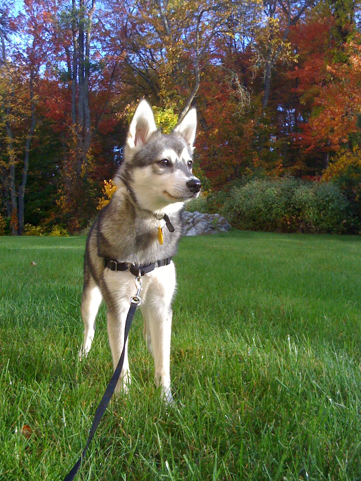 Alaskan Klee Kai For mobile
