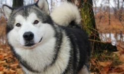 Alaskan Malamute widescreen wallpapers