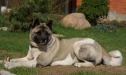 American Akita widescreen wallpapers