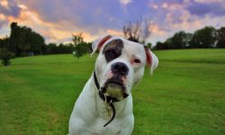 American Bulldog widescreen wallpapers