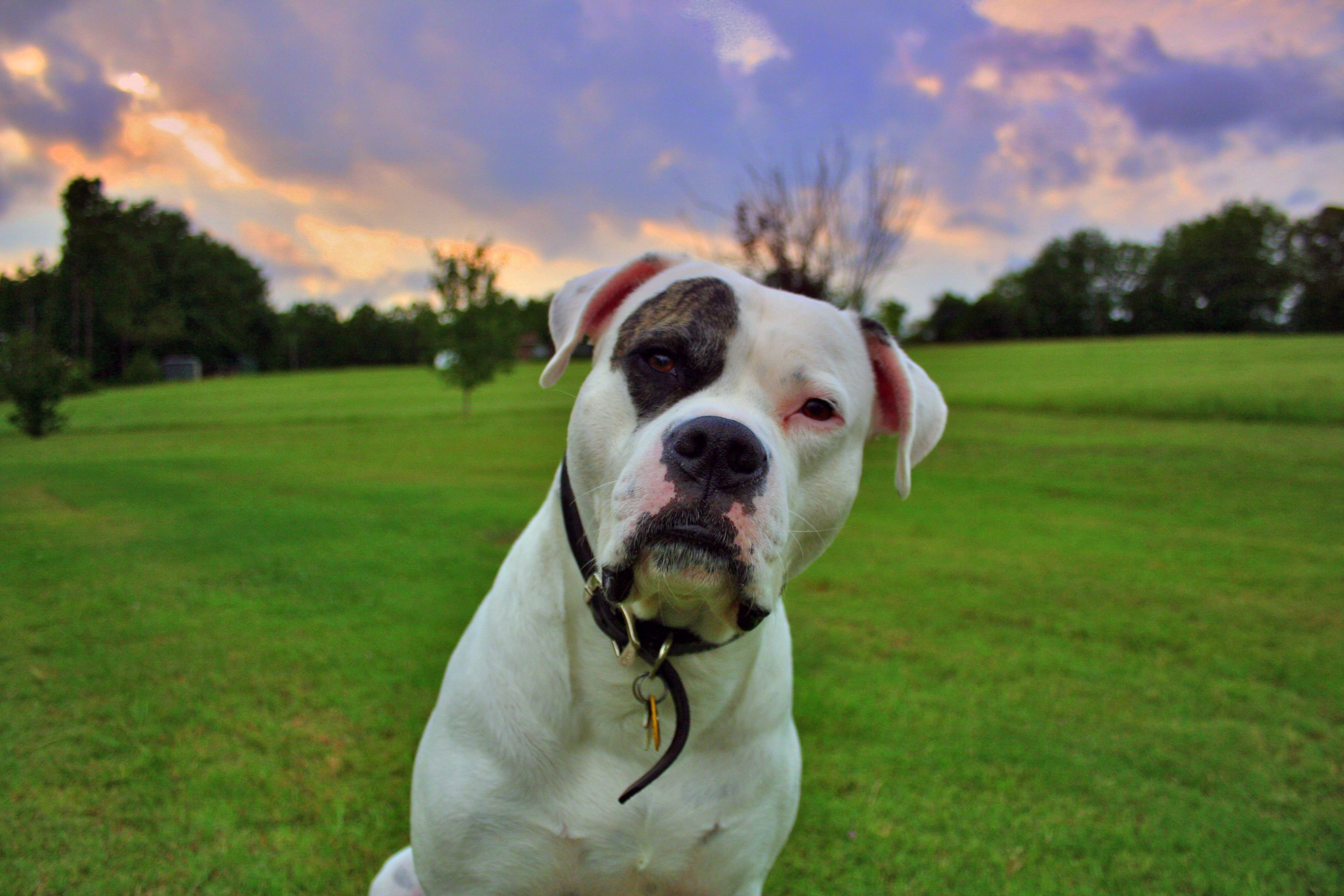 American Bulldog widescreen wallpapers