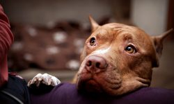 American Pit Bull Terrier widescreen wallpapers