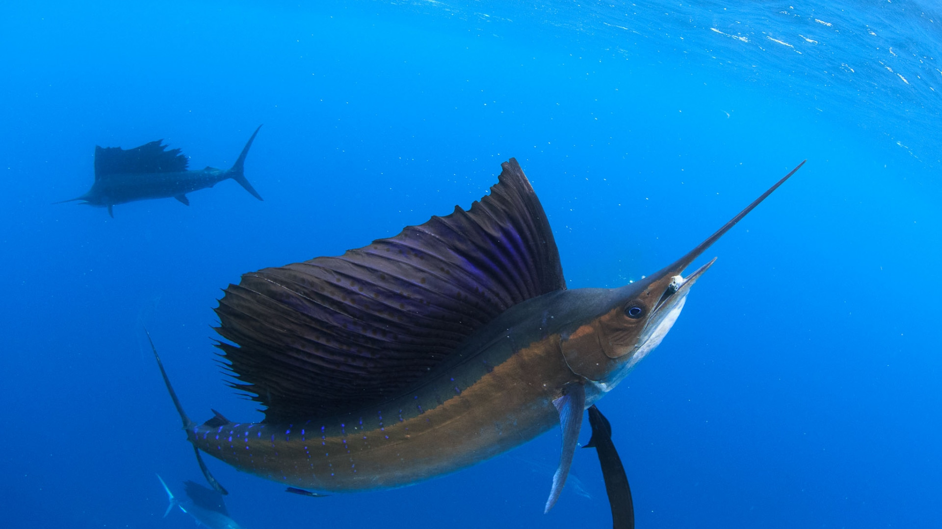 Atlantic sailfish widescreen wallpapers