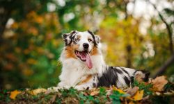 Australian Shepherd widescreen wallpapers