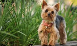 Australian Silky Terrier widescreen wallpapers