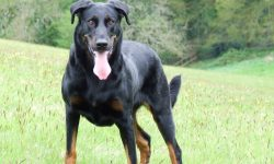 Beauceron widescreen wallpapers