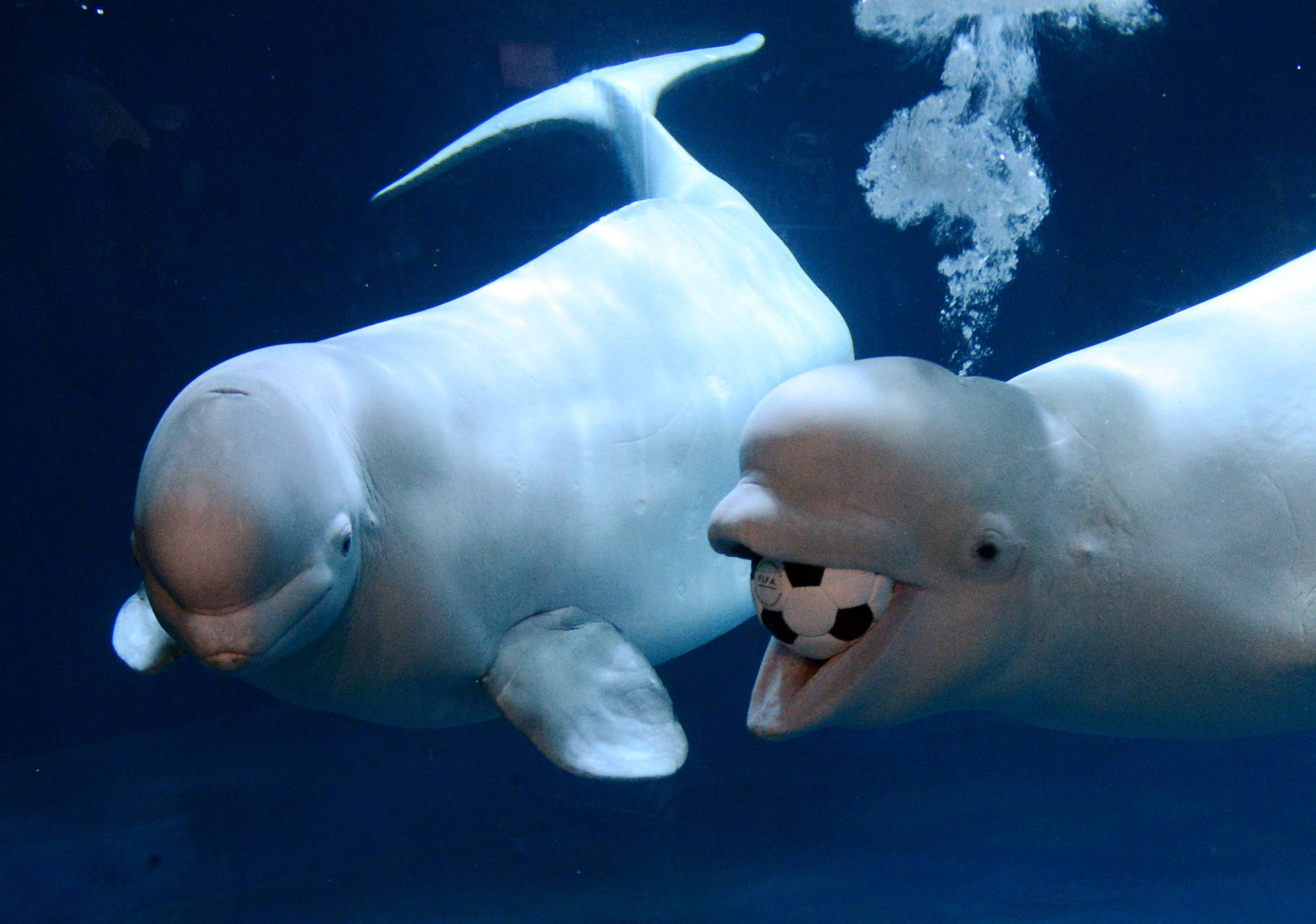 Beluga Whale widescreen wallpapers