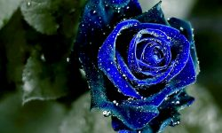 Blue Rose widescreen wallpapers