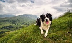 Border Collie widescreen wallpapers