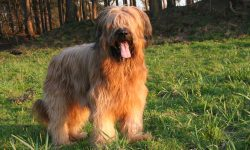 Briard widescreen wallpapers