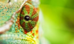Chameleon widescreen wallpapers