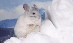 Chinchilla widescreen wallpapers