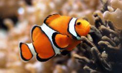Clownfish widescreen wallpapers