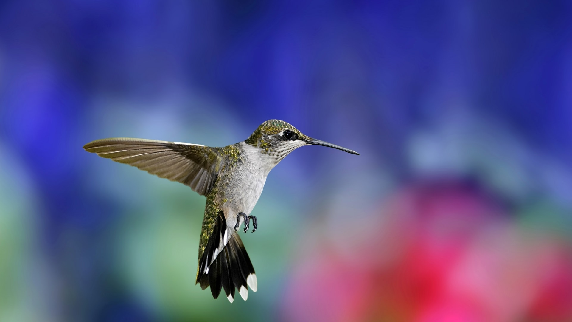 Colibri widescreen wallpapers