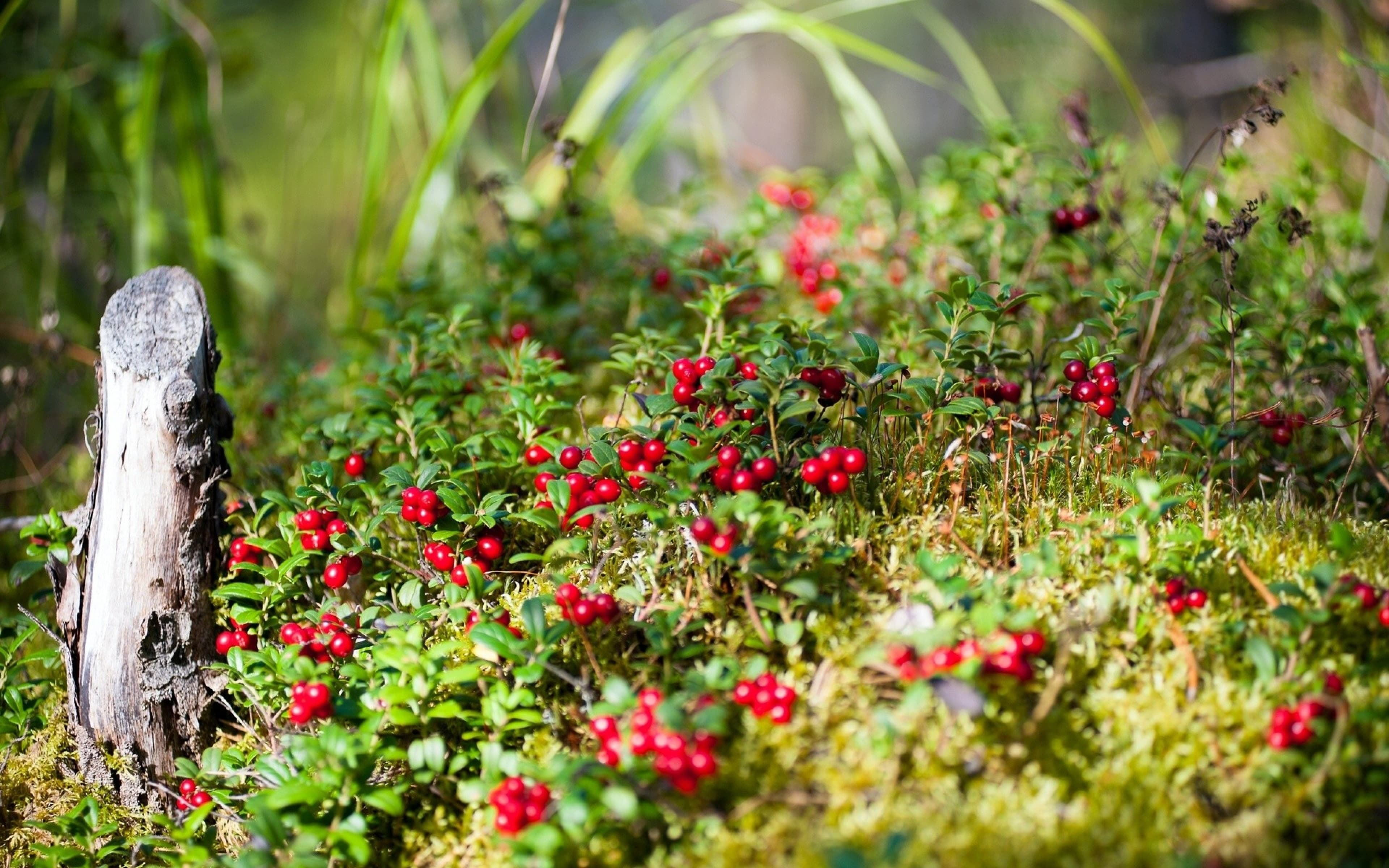 Cowberry widescreen wallpapers