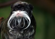 Emperor Tamarin widescreen wallpapers