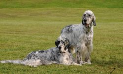 English setter widescreen wallpapers