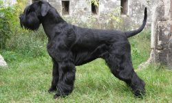 Giant Schnauzer widescreen wallpapers
