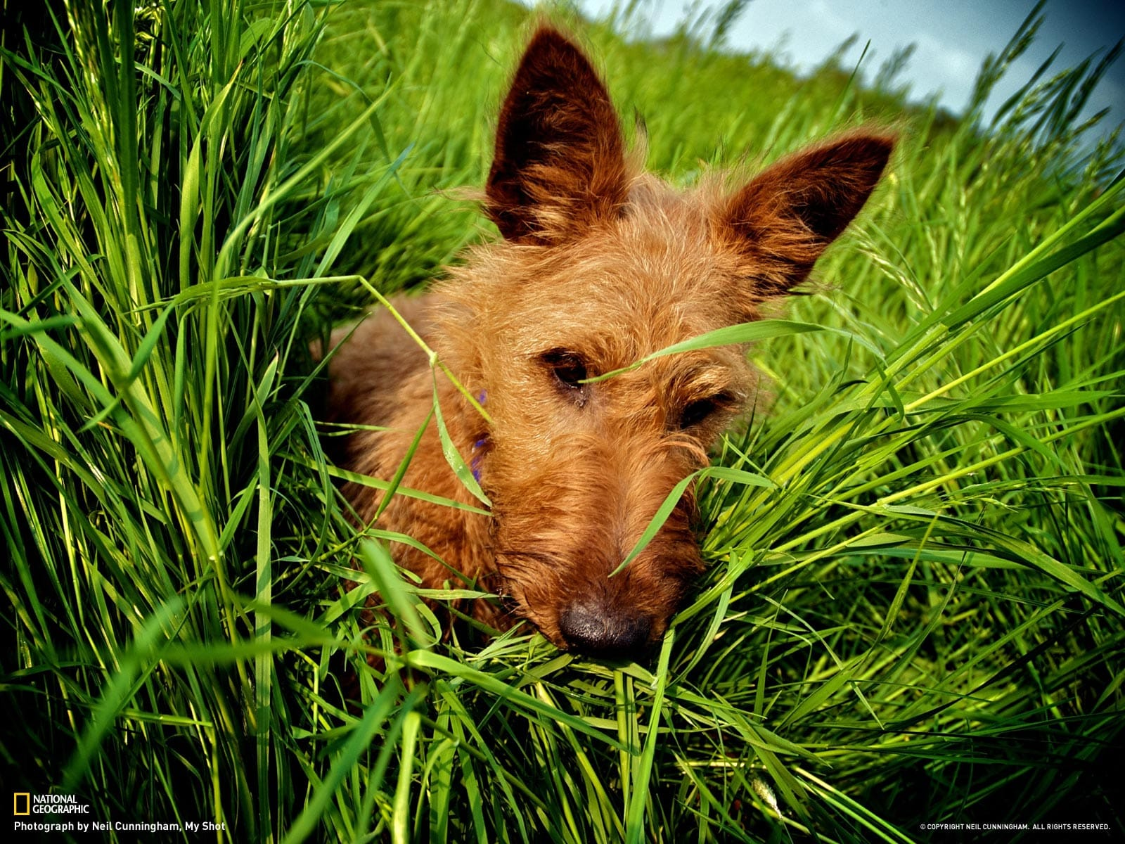 Irish Terrier widescreen wallpapers