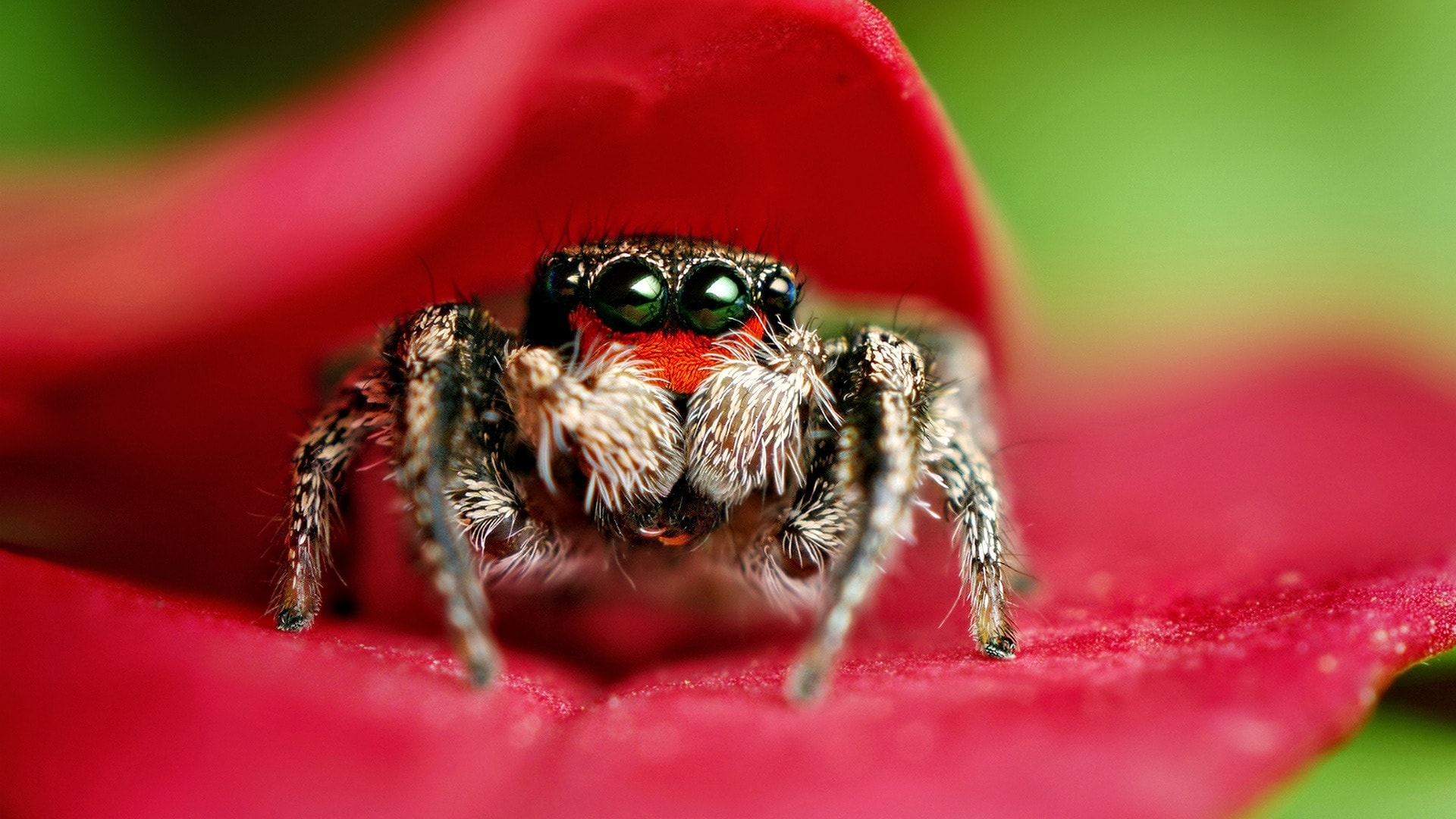 jumping spider hd desktop wallpapers | 7wallpapers