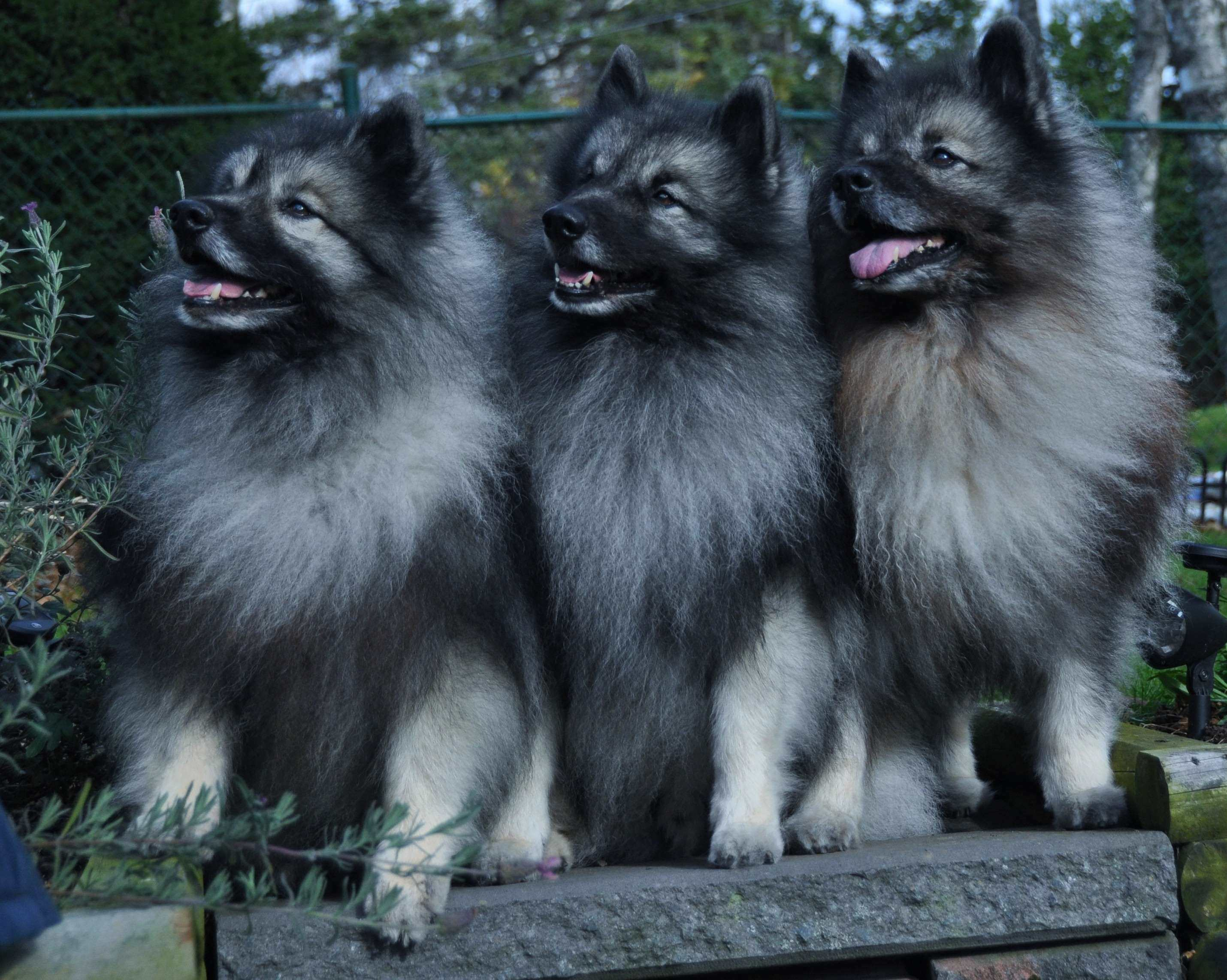 Keeshond widescreen wallpapers