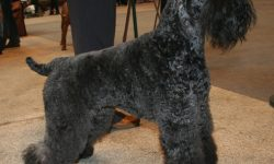 Kerry Blue Terrier widescreen wallpapers