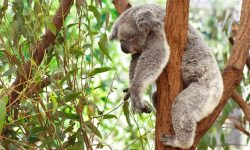 Koala widescreen wallpapers
