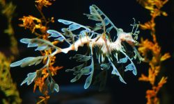 Leafy Seadragon widescreen wallpapers