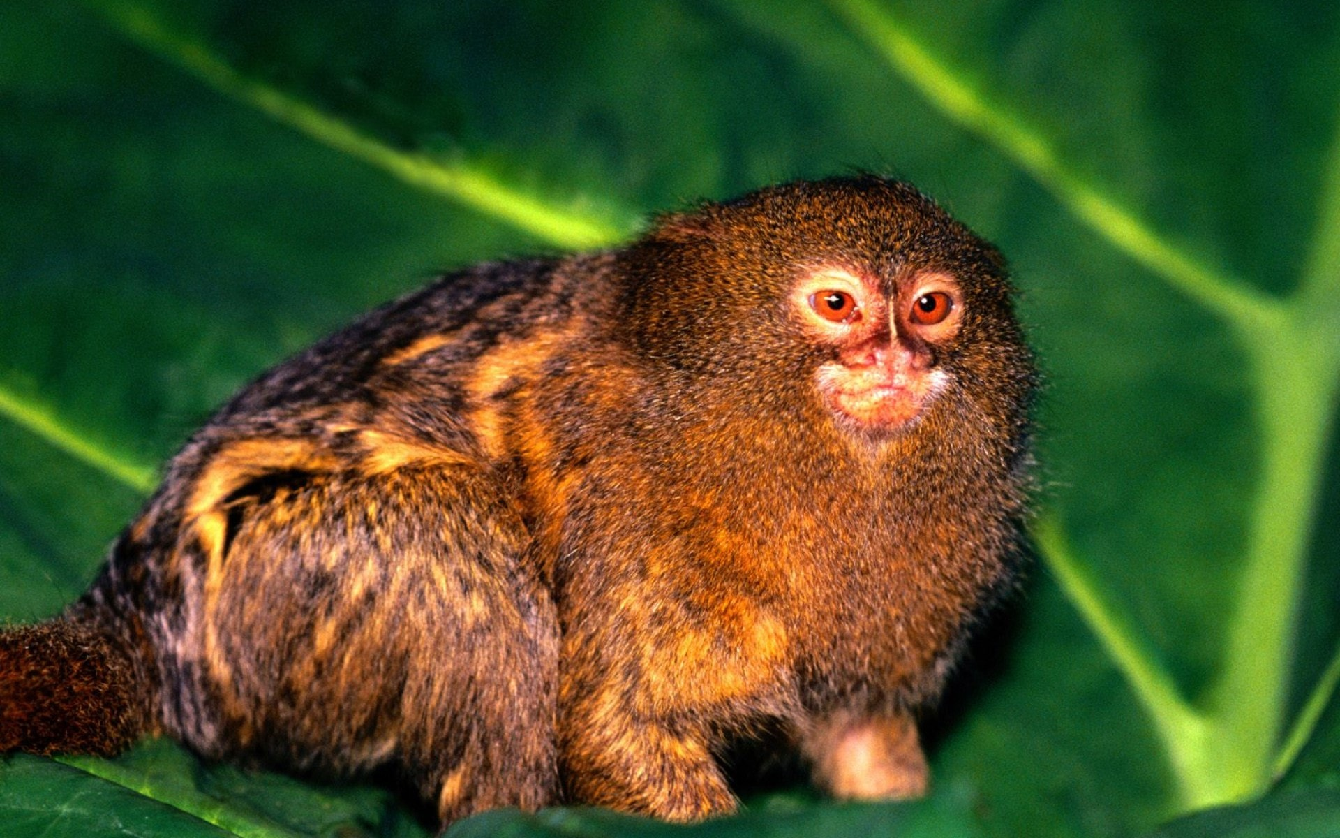 Marmoset monkey widescreen wallpapers