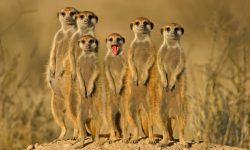 Meerkat widescreen wallpapers