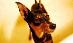 Miniature Pinscher widescreen wallpapers